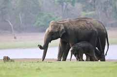 Indian elephants. The female elephants are walking with a calf elephant with them Stock Photography