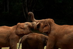Indian elephants Stock Photo