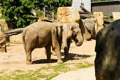 Indian elephants Royalty Free Stock Photography