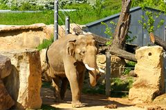 Indian elephants. Asian elephants in their enclosure at the zoo stock image