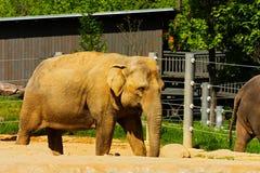 Indian elephants Stock Photo