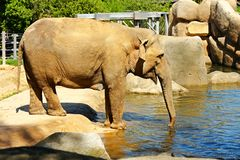 Indian elephants. Asian elephants in their enclosure at the zoo stock photo