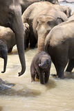 Indian Elephants with baby Stock Images
