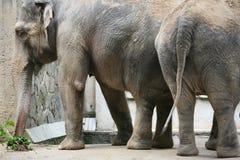 Indian elephants Stock Image
