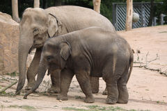 Indian elephants (Elephas maximus indicus) Stock Images
