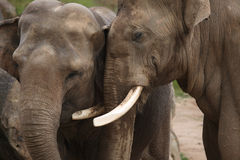 Indian elephants (Elephas maximus indicus) Stock Image