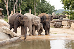Indian elephants family in the Prague Zoo. Indian elephants family with baby in the Prague Zoo Royalty Free Stock Images