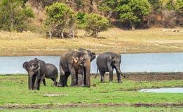 Indian Elephants Royalty Free Stock Images