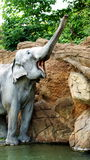 Indian elephants. Refer to animals, which, like tigers, are protected by law. But, nevertheless, for the harm done to agriculture, they are often destroyed by Stock Photography