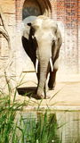Indian elephants. Refer to animals, which, like tigers, are protected by law. But, nevertheless, for the harm done to agriculture, they are often destroyed by Royalty Free Stock Image