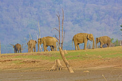 Indian Elephants on a River Bank Stock Images