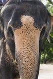 Indian elephants in Thailand Stock Photos