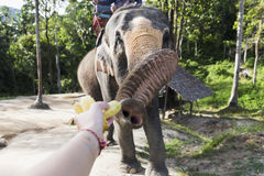 Indian elephants in Thailand Royalty Free Stock Photography