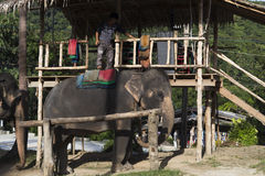 Indian elephants in Thailand Stock Image