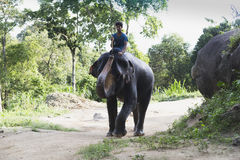 Indian elephants in Thailand Royalty Free Stock Images