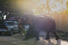 Indian elephants in Thailand Stock Photography