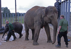 Indian elephants and Zoo Keepers England UK Stock Photo
