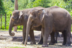 Indian Elephants Stock Images