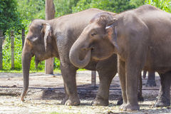 Indian Elephants Stock Photos