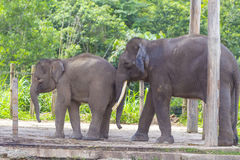 Indian Elephants Royalty Free Stock Images