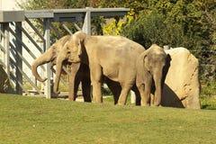 Indian Elephants in ZOO Stock Photo