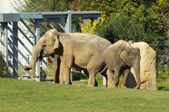 Indian Elephants in ZOO Stock Photos