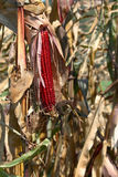 Indian Fall Corn with Husk Royalty Free Stock Photo