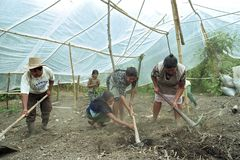 Indian family work together in horticulture. Guatemala, Indian women, children and men lay in the mountain village of Santo Domingo a tomato greenhouse in the stock photography