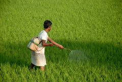 Indian Farmer. March 01,2012 Taldi,West Bengal,India,Asia -A farmer spraying liquid poison for insects at the paddy field Royalty Free Stock Images