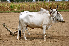 Indian farmer bulls Stock Images