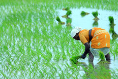 Indian farmer on Field. Indian Female Worker Planting Fresh Rice on the Field Stock Photos