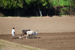 Indian Farmer in the field Royalty Free Stock Image