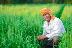 Indian farmer holding crop plant in his Wheat field.  royalty free stock photo