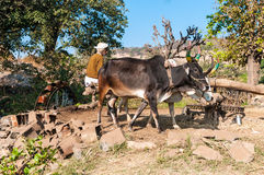 An Indian farmer operates the irrigation system fo. R his field with two oxen, Rajasthan, India Royalty Free Stock Photography