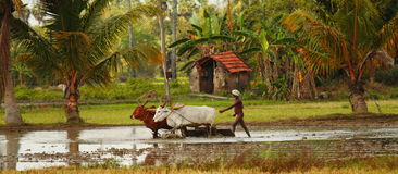 Indian Farmer with Oxes in Flooded Rice Field. With Palm Trees Royalty Free Stock Photo