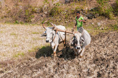 An Indian farmer plowing a field with two oxen Stock Image