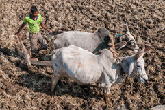 An Indian farmer plowing a field with two oxen Stock Images