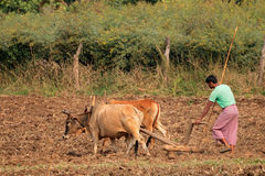 Indian farmer plowing his field Royalty Free Stock Photo