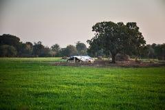 Indian farmland. Damaged old hut in green farmland of india Stock Photo