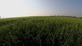 Indian field of rice Stock Photography