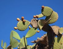 Indian fig, cactus pear Stock Images