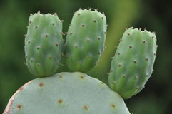 Indian fig opuntia. Closeup of unripe green cactus fruits Royalty Free Stock Photography