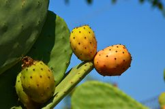 Indian fig opuntia Stock Image