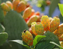 Indian fig opuntia or Prickly pear  in the cactus Royalty Free Stock Photos