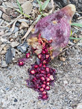 Indian fig, prickly pear fruit, broken, seeds spill like blood. Stock Images