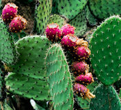 Indian figs aka Prickly pears, Opuntia figs Royalty Free Stock Photos