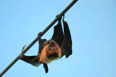 Indian flying fox Royalty Free Stock Photo