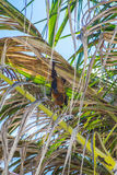 Indian flying fox at palm tree Royalty Free Stock Images
