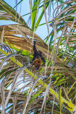 Indian flying fox at palm tree Royalty Free Stock Image