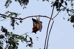 Indian Flying Fox - Sri Lanka Stock Photo